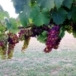 Veraison in the Muscat_1